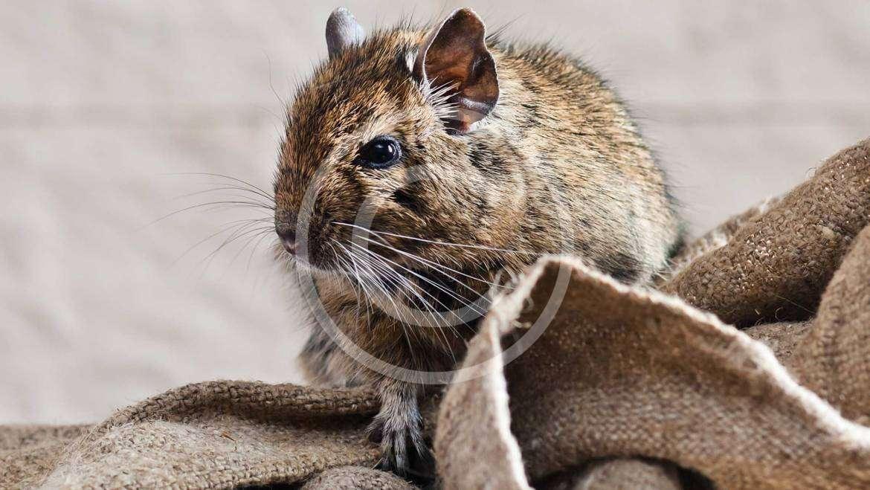 Rats/Mice